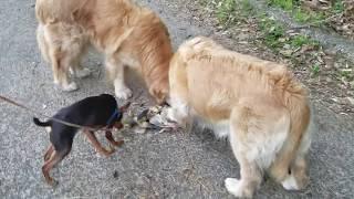 コハクとイブキは毎年タケノコを食べています。 ミニチュアピンシャーの...