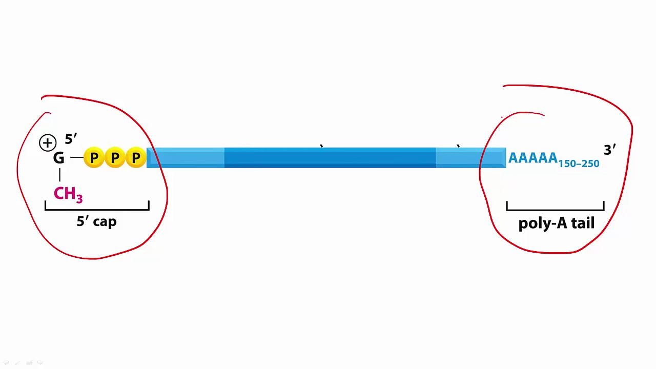 fe6554f11d2 Molecular Biology Basics  Lesson 9 - pre-mRNA processing - YouTube