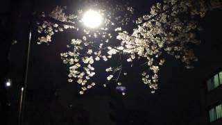上野郵便局前の桜