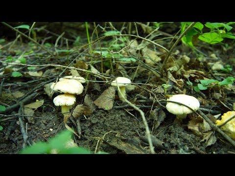 Поход за грибами (за белыми лисичками).  Июнь, юг Подмосковья... Как готовить лисички