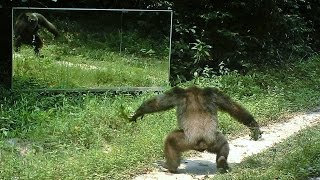 Chimpanzee intimidation dance ...or  /  Danses d'intimidation chez les chimpanzés face aux miroirs