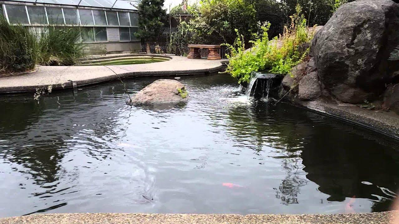 Koi pond at fresno city college ca youtube for Koi pond quezon city