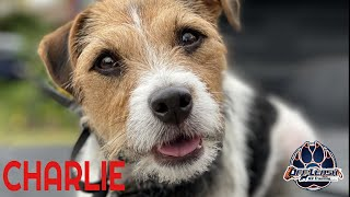 Parson Russell Terrier 'Charie'   Dog & Human Reactivity Transformation   San Antonio Dog Trainers