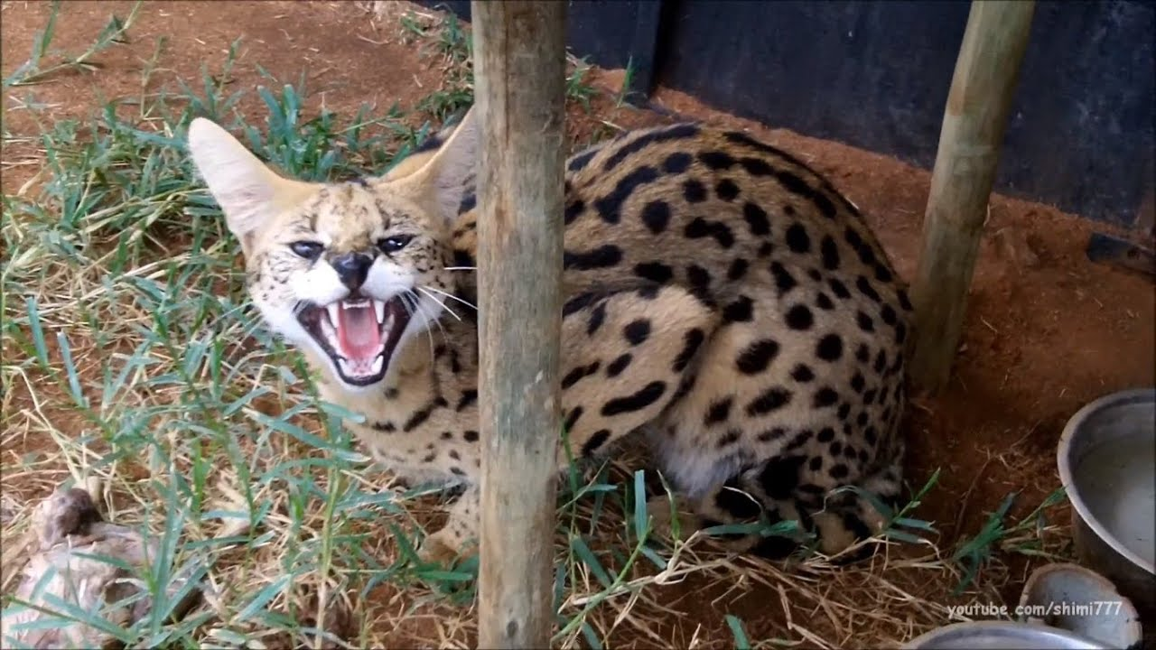 Black Cat Fall Wallpaper A Day With The Servals And Caracals Youtube