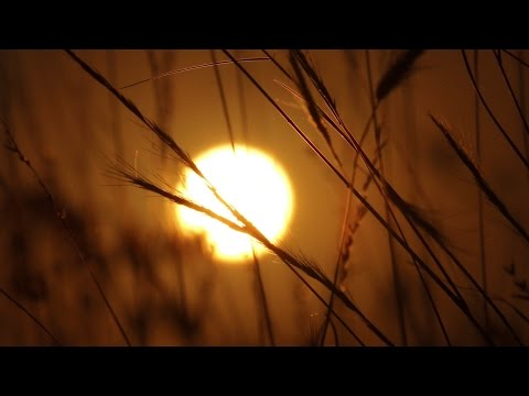 Wild Grass Sunrise Time Lapse - Royalty Free HD Stock Video Footage.