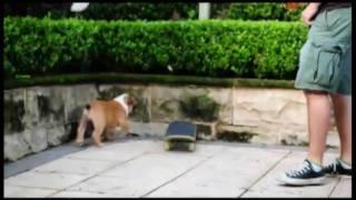Benson The Puppy Bulldog Wants To Be Like Tillman!