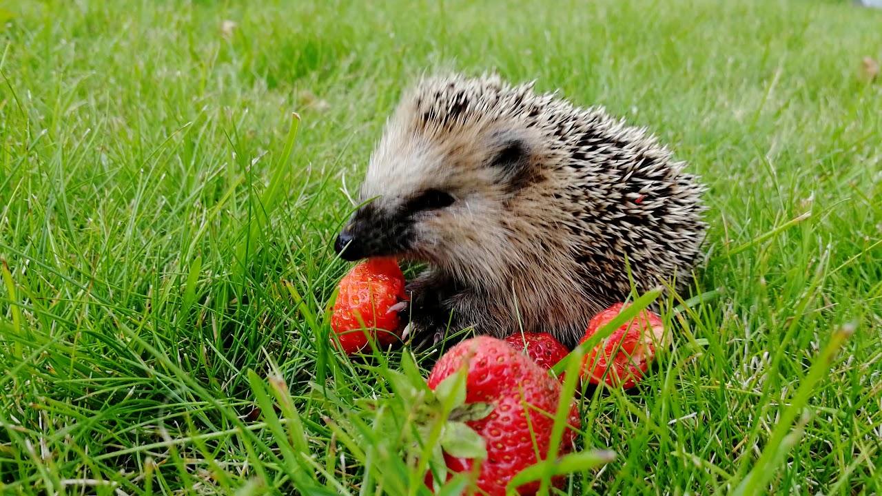 картинка ежик с ягодками соображений