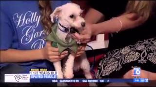 Toy Poodle/maltese For Adoption