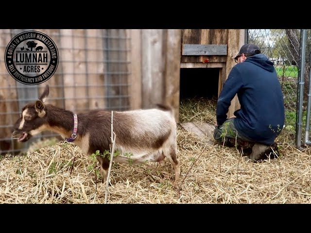 It was SUPPOSED to be the BABY GOATS First Day Out! Until this happened