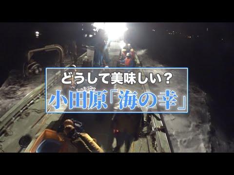 どうして美味しい? 小田原「海の幸」(小田原市水産業プロモーション動画)