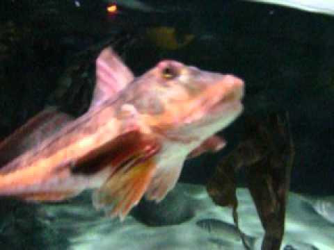 Hpim1762 avi gros poisson rouge foufou youtube for Gros poisson rouge
