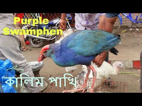 Most Beautiful Birds In The World - Purple Swamphen