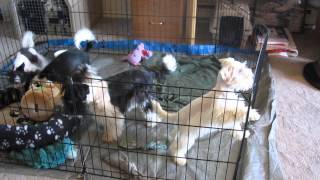 Miniature Schnauzer Puppies Playing