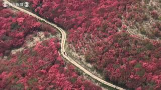 #空撮・深紅の山肌 ツツジ見ごろ 葛城山