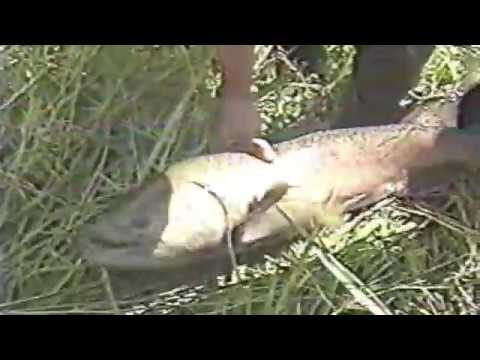 Guadalupe River Chinook salmon archive 1993