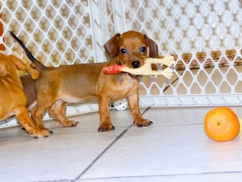 Miniature Dachshund, Puppies, Dogs, For Sale, In Denver ...