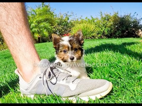 Tiger Our Super Tiny Akc Parti Yorkshire Terrier Male Puppy For