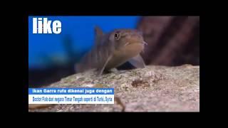 Download Video terapi ikan cocok untuk membersihkan miss-V MP3 3GP MP4
