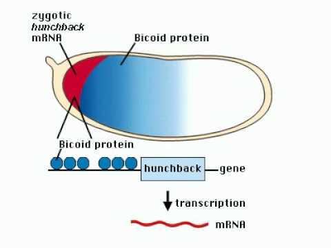 Embryo genesis.