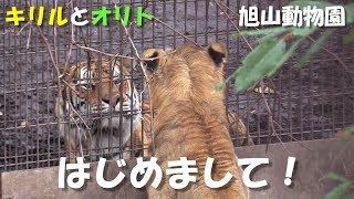 桐生が丘動物園から旭山動物園にやって来たライオン「オリト」。来園し...