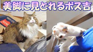 すらりと伸びる白くて美しい美脚にうっとり見とれてしまった巨猫のボス吉