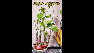 고구마 키우기/플랜테리어/수경재배