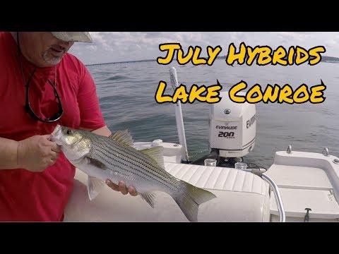 July Hybrids Trolling Hellbenders & Pet Spoon On Lake Conroe TX