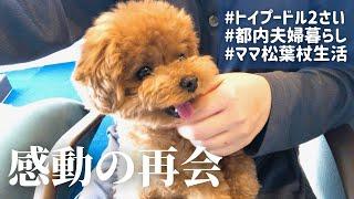【 退院報告 】2週間振りに再会した飼い主に大喜びする愛犬に涙 / トイプードル ティーカッププードル 成犬 ペット 東京 都内夫婦暮らし 専業主婦 dog poodle pet Vlog Tokyo screenshot 3