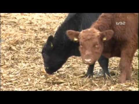 Angus goveda u Srbiji - ima li to smisla ?