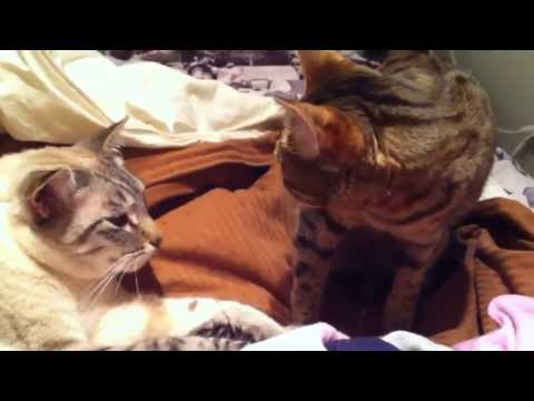 Bengal Cat and Siamese Show Affection