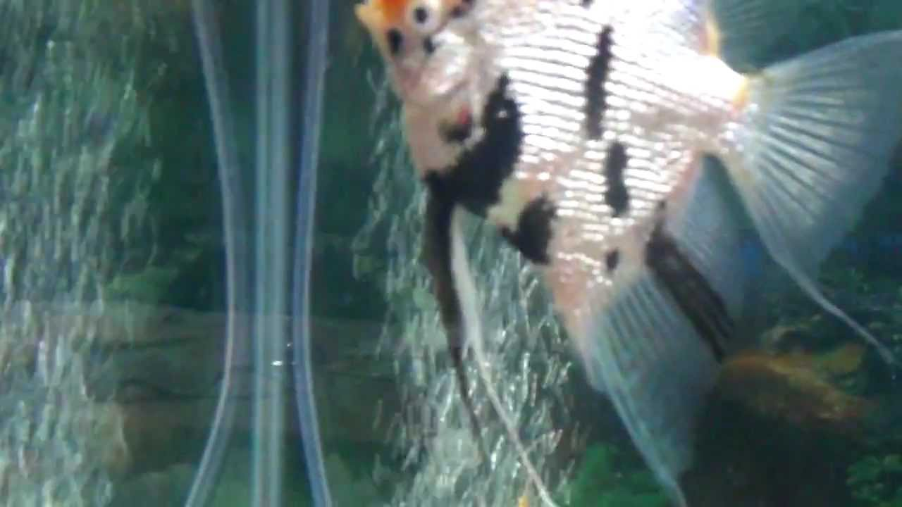 My Angelfish Fish Is Pregnant Youtube