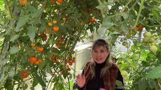 Забудьте о Фитофторе и Кладоспориозе навсегда Секреты ухода за томатами