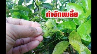 สูตรกำจัดเพลี้ย  แมลง มด เห็นผลไวทำง่ายๆ #เกษตรอินทรีย์ #เกษตรพอเพียง #วิถีเกษตร #prame channel