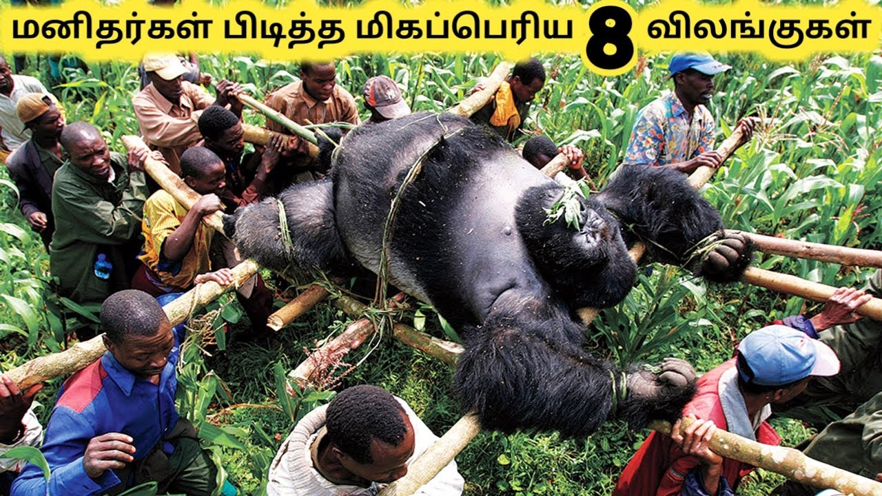 பெரிய விலங்குகள் || Eight Biggest Animal Ever Caught || Tamil Galatta News