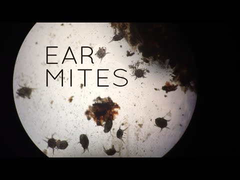 Ear Mites in Cats, Kittens...and Sometimes Puppies