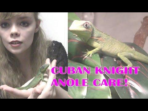 CUBAN KNIGHT ANOLE CARE