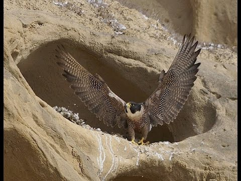 "The Peregrine Falcon ""a Living Missile"""