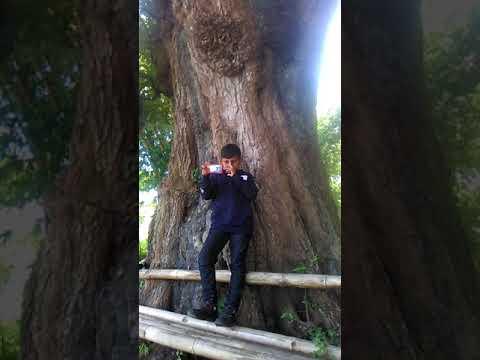 Pohon asem terbesar di dunia