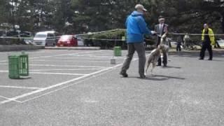 2010日本犬保存会春季近畿連合展 四国犬テツの歩様です.