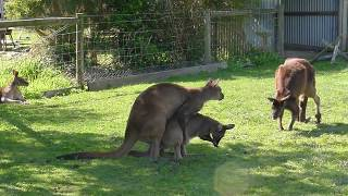 Mating Kangaroos , another one coming to join 3P ? 交配中的袋鼠,第三只想加入?