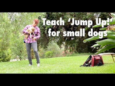 Train your little dog to jump up into your arms!- Dog Tricks