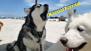 Husky & Malamute Argue | Husky Tells Malamute She Wants Puppies