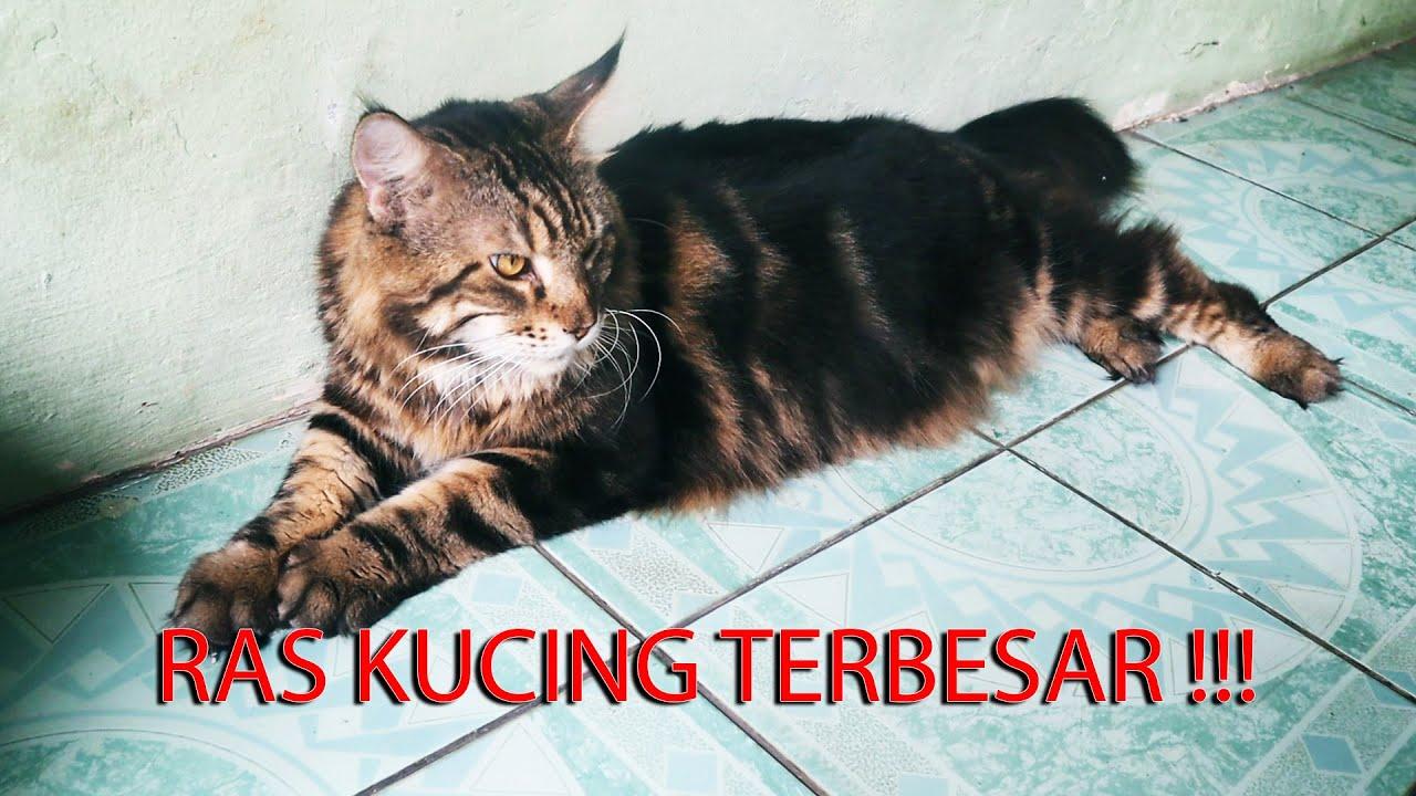Cocokah Pelihara Mainecoon Di Indonesia Bersama Kucing Mainecoon Mania Asipedia 1 Youtube
