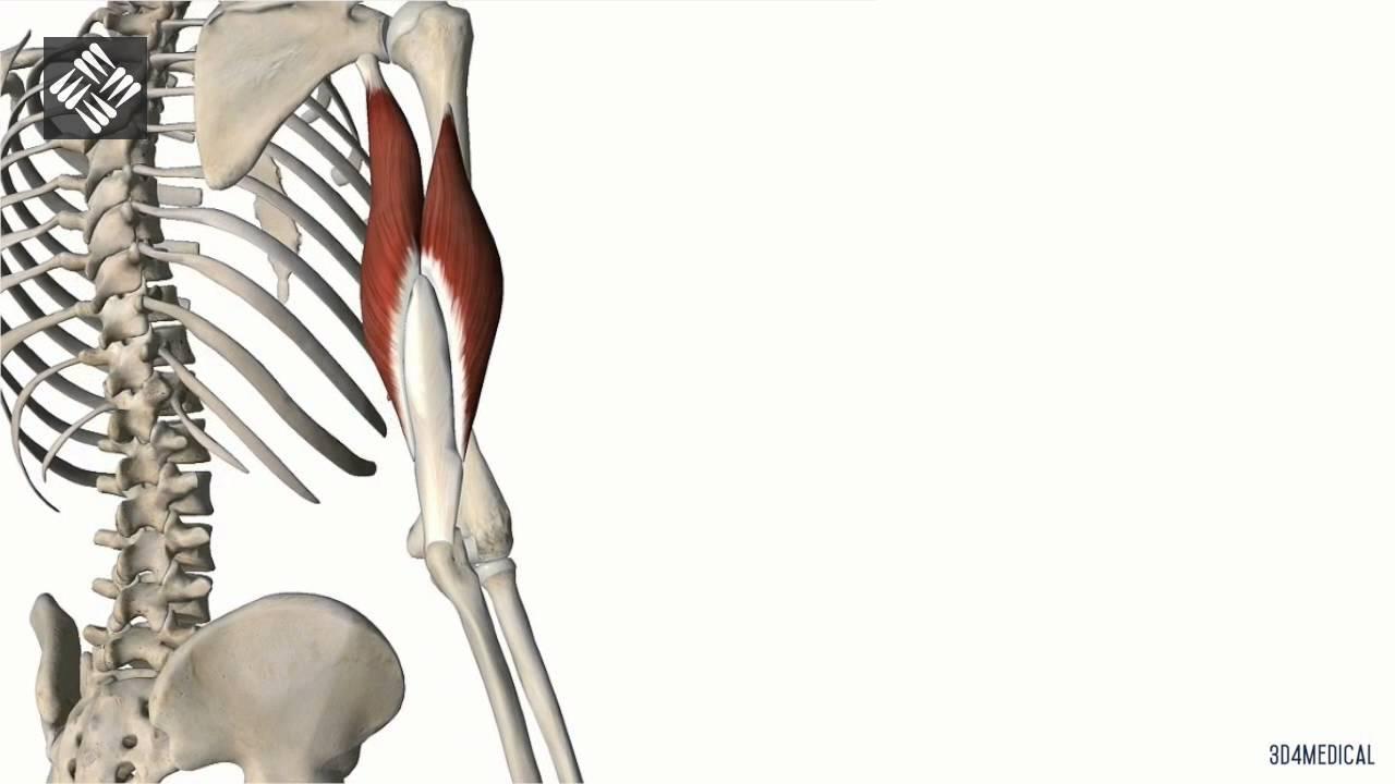 insercion del musculo triceps braquial