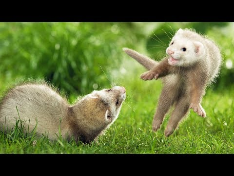 Top Cutest Ferret Videos Compilation 2017 - Funny Animals [BEST OF]