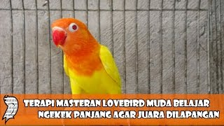 Terapi Masteran Lovebird Muda Belajar Ngekek Panjang Agar Juara Dilapangan