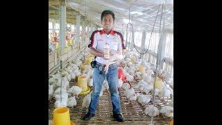 081233750366(Simp)Cara ternak ayam broiler agar cepat besar,cara memelihara ayam broiler yang baik.