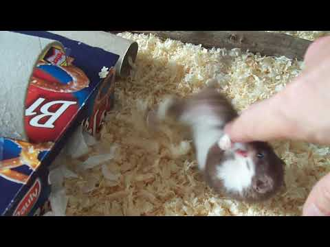 Ozzy the Weasel as a baby, a tsunami of cuteness.