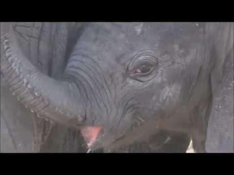 Safari Live : A beautiful sighting a Herd of Elephants protecting their newborn calf  Jan 07, 2018