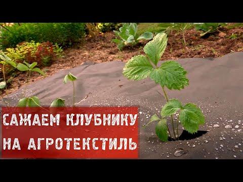 64  Как посадить клубнику на агротекстиль.
